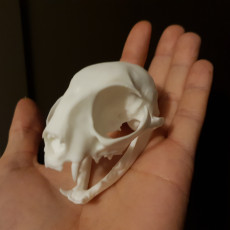Picture of print of Domestic Cat Skull