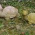 Turtle (Schildkröte) image